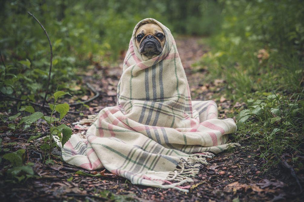 Pugs-dog-03